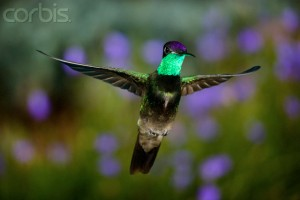Magnificent Hummingbird Hovering