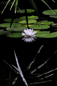 21 Jun 2009 --- Water lily in a pond, Valencia, Spain --- Image by © juanluis_duran/RooM the Agency/Corbis