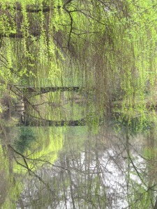 weeping-willow-531406_640