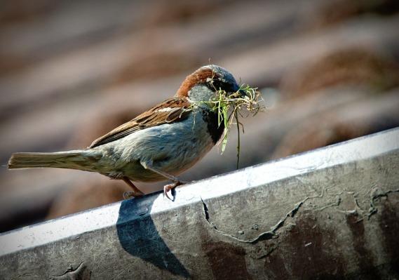sparrow-827374_960_720