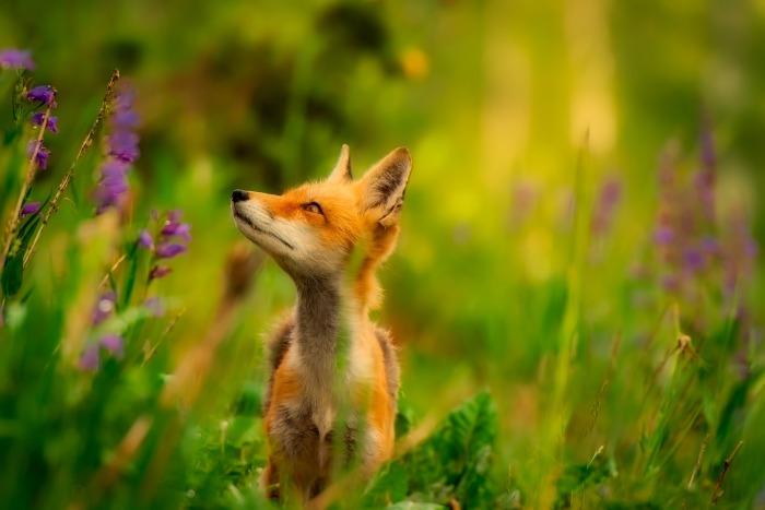 fox-2530225_1920