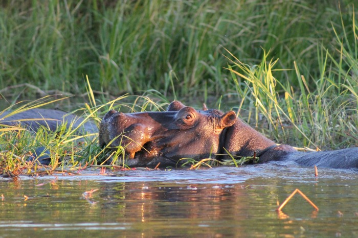 hippo-2647001_1920