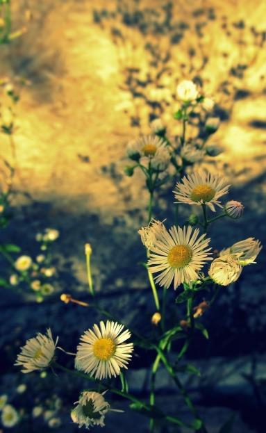 daisies-997779_1920