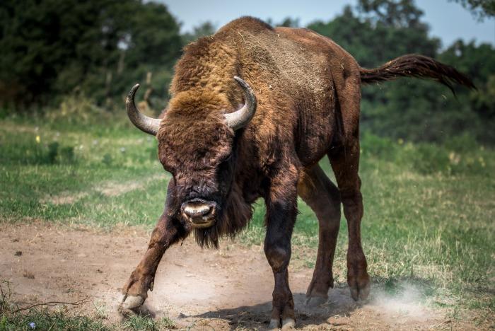 bison-european-2118538_1920