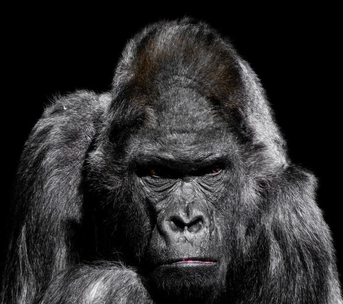 gorilla-3035579_1920