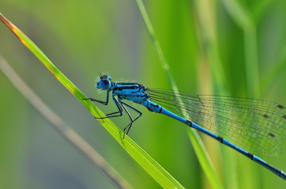 Dragonflies ~ Author Sue Lobo