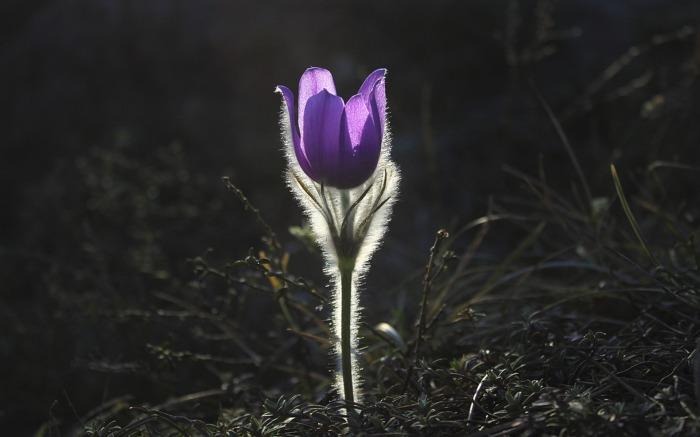 pasqueflower-1585303_1920
