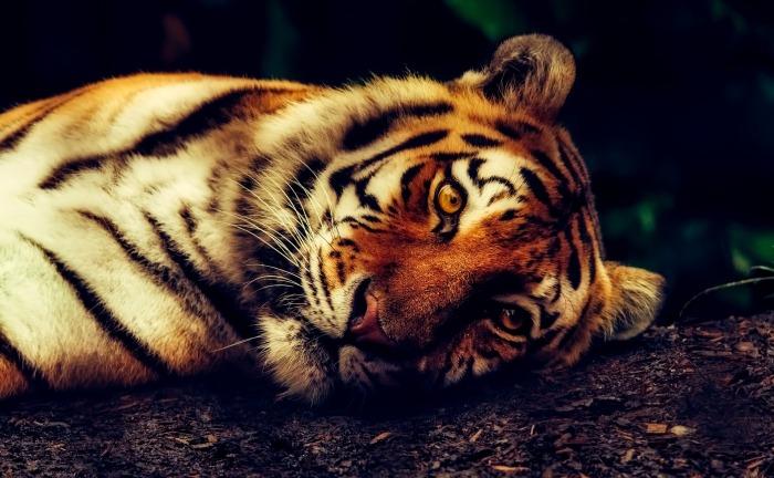 tiger-2530158_1920