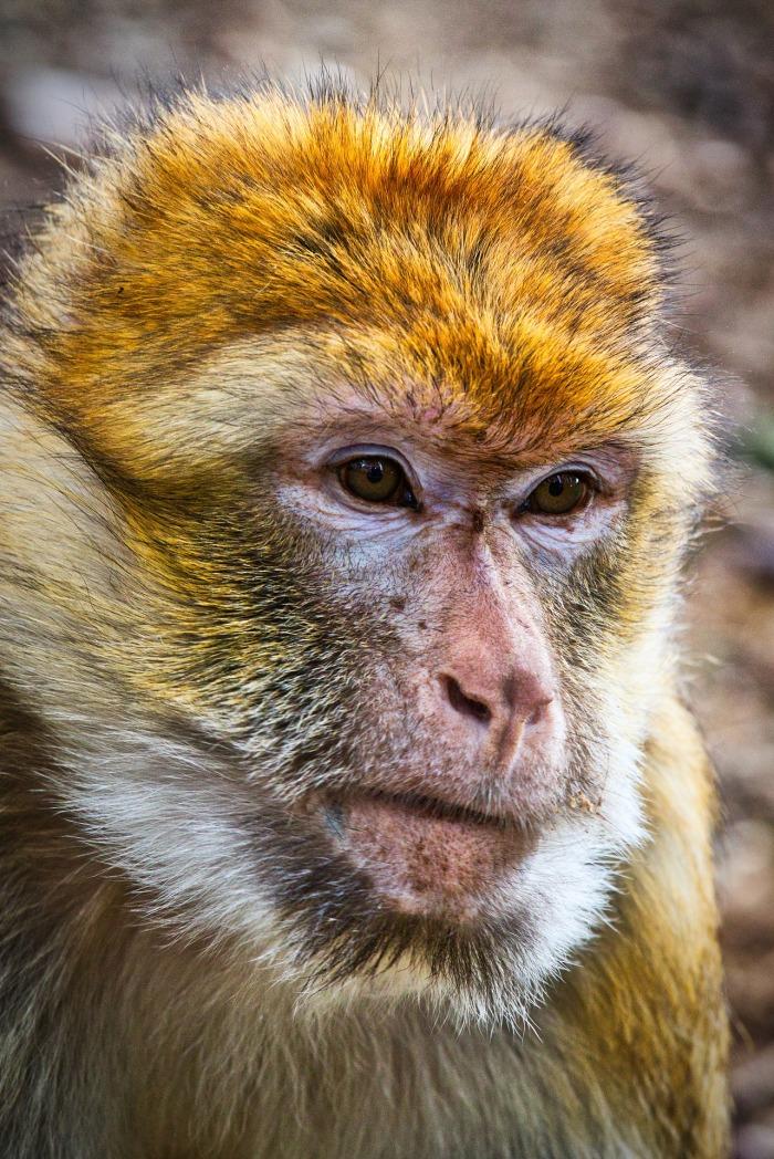 barbary-ape-3742926_1920