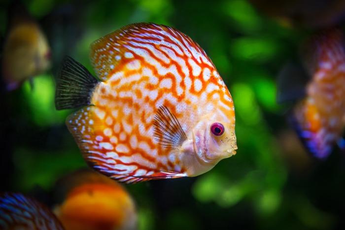 discus-fish-1943755_1920