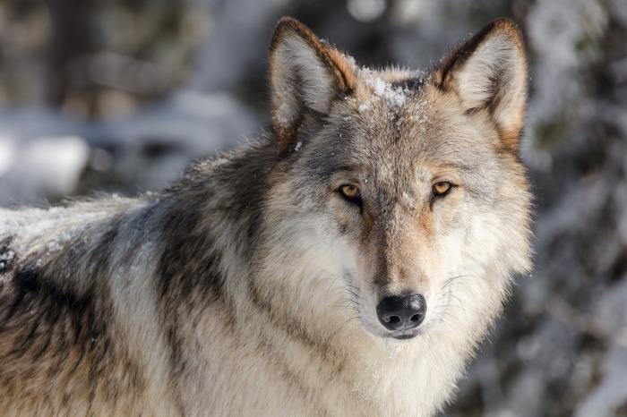 wolf-3818343_1920